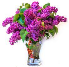 Kwiaty lilaka w wazonie