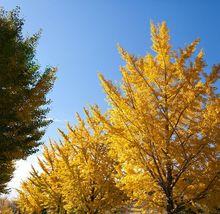 Miłorząb japoński - drzewa jesienią