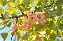 Owoce miłorząbu japońskiego