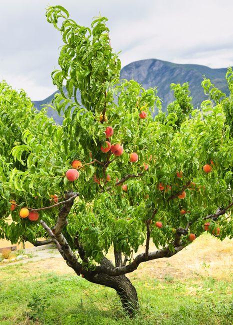 Brzoskwinia - drzewo