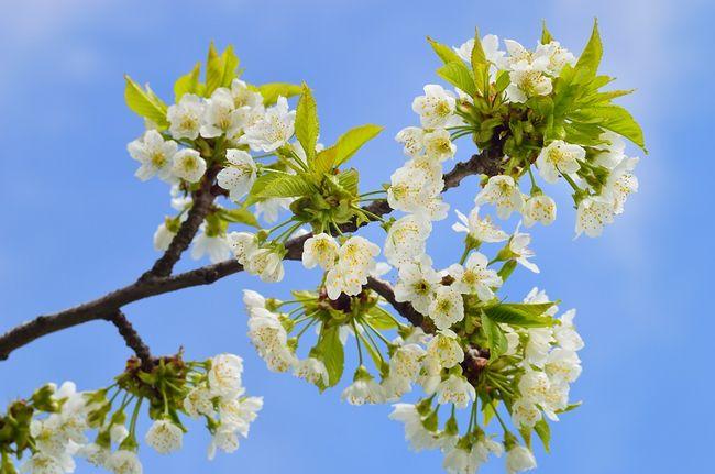 Czereśnia - kwitnienie