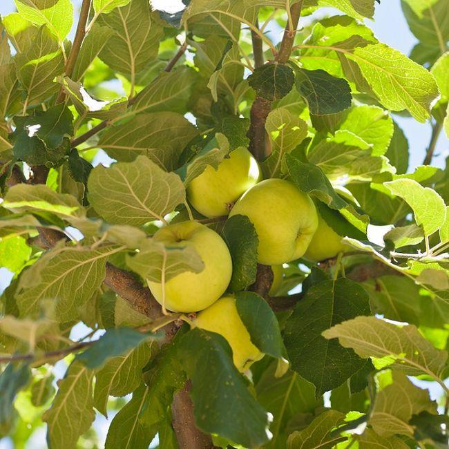 Jabłoń Papierówka