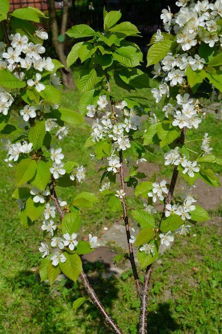 Kwitnąca czereśnia