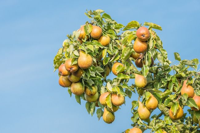 Owocująca grusza