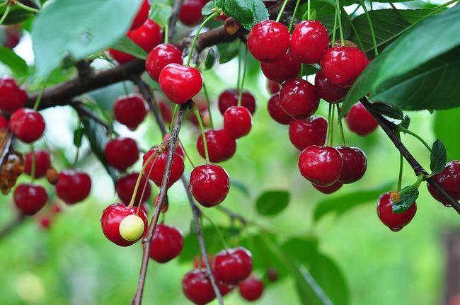 Owocująca wiśnia