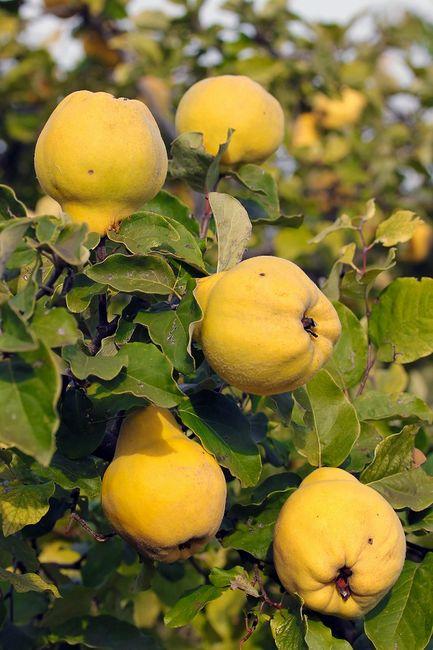 Pigwa owoce