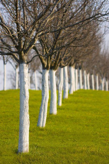 Pobielone drzewa owocowe