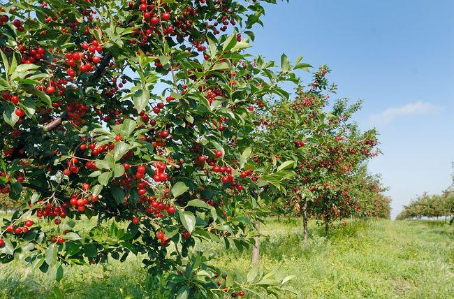 Sad wiśniowy