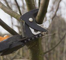 Cięcie drzew owocowych