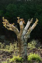 Drzewo po szczepieniu