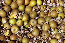 Jabłka odmiany Złota Reneta