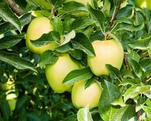 Jabłoń Golden Delicious