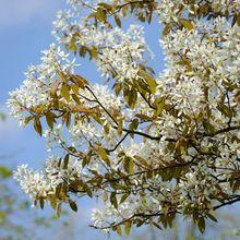 Kwitnąca świdośliwa