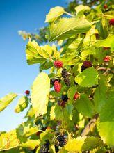 Morwa czarna - liście i owoce