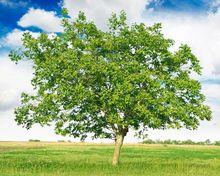 Orzech włoski - drzewo
