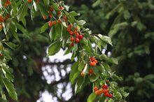 Owocująca czereśnia