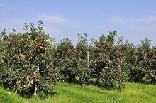 Owocujące drzewa jabłoni w sadzie