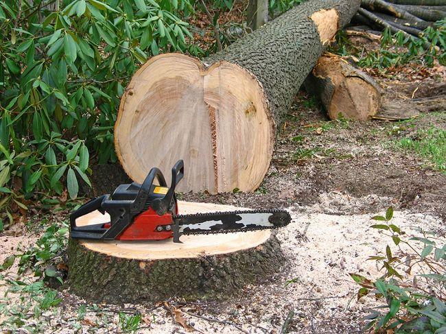 Drzewo po ścięciu