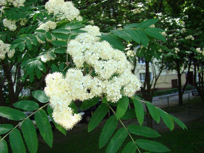 Kwiat jarzębiny