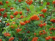Owoce jarząbu pospolitego