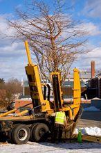 Przesadzanie dużego drzewa