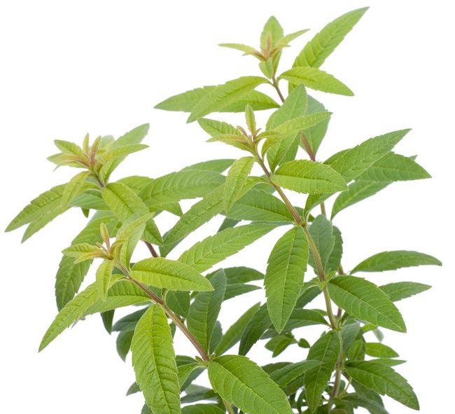 Werbena cytrynowa - roślina odstraszająca komary