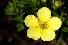 Kwiat pięciornika
