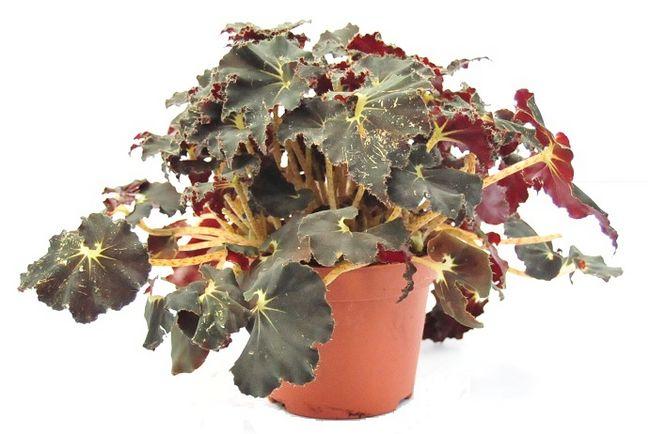 Begonia królewska (rex)