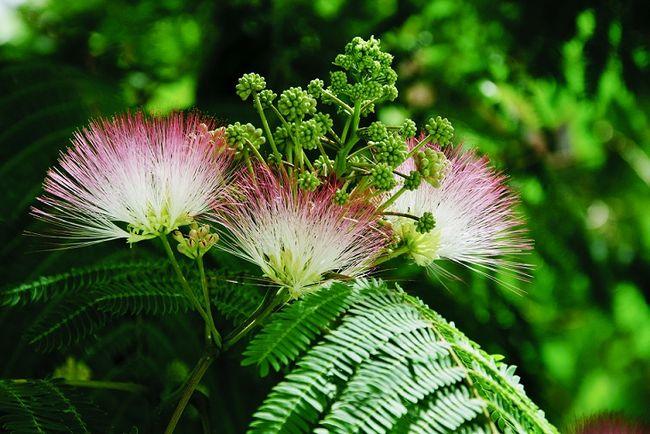 Mimoza wstydliwa - kwiaty