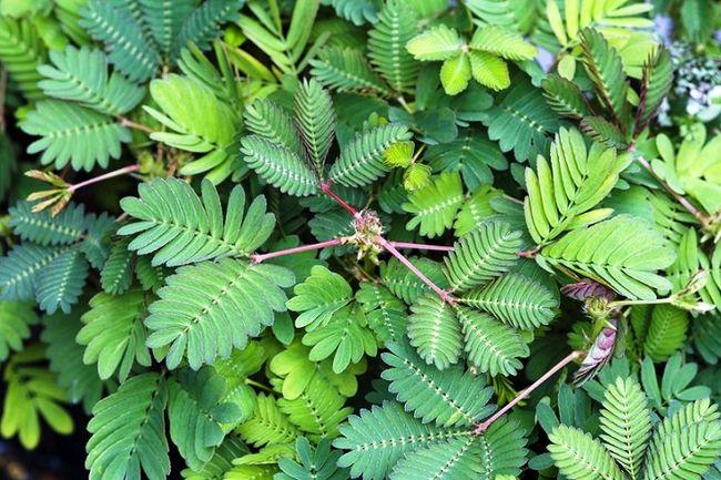 Mimoza wstydliwa - liście
