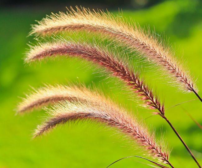 Rozplenica japońska - kwiatostan