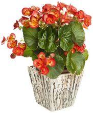Begonia w doniczce