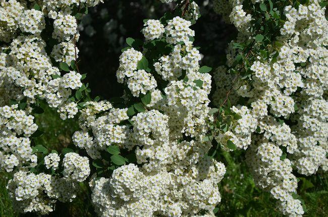 Kwiaty tawuły