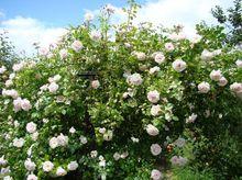 Biało różowe kwiaty róży