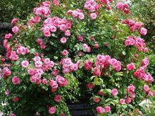 Krzew róży o kwiatach różowych
