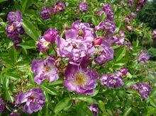 Róże fioletowe