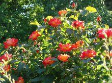 Róże z kwiatami pomarańczowymi