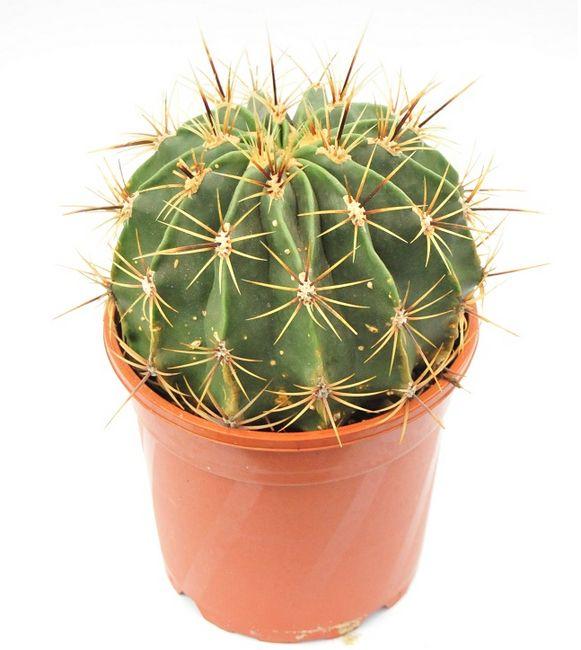 Kaktus domowy
