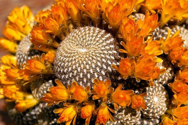 Kaktus Rebutia