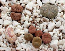 Żywe kamienie - litops