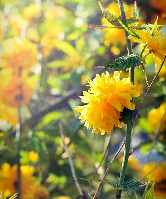 Krzew złotlin japoński