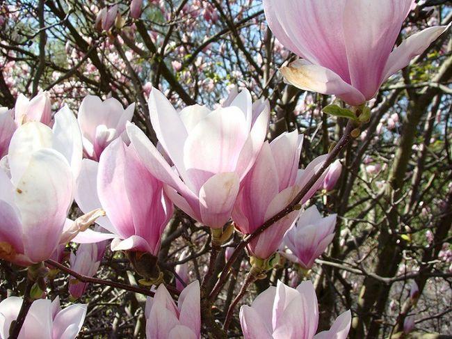 Kwiaty magnolii