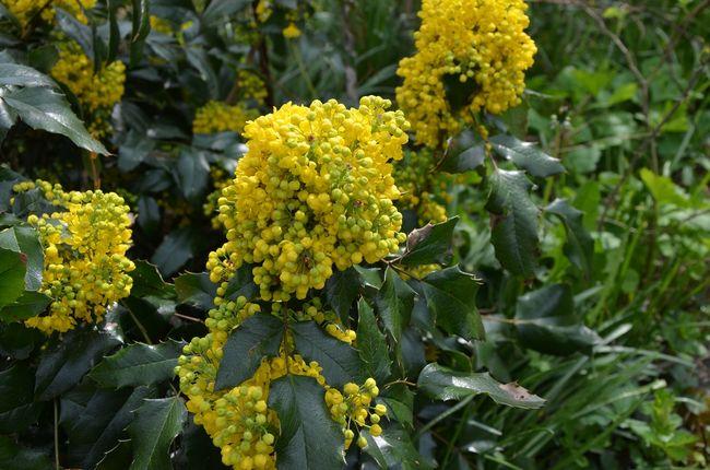 Kwitnąca mahonia