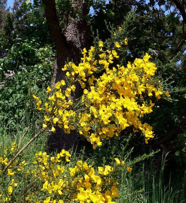 Kwitnący żarnowiec miotlasty