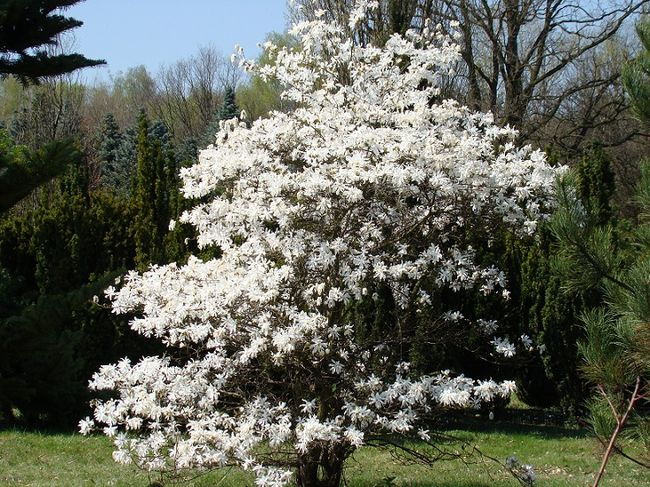 Magnolia - drzewo