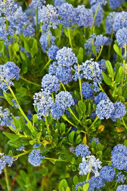 Prusznik niebieski - kwitnący krzew