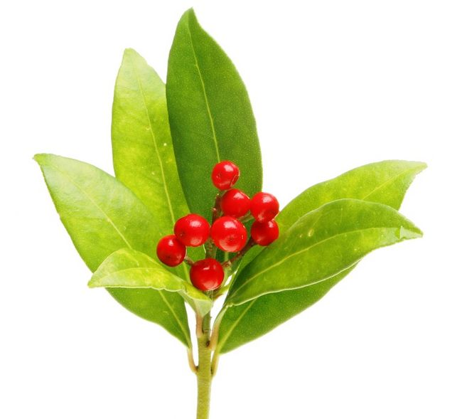 Skimia - liście i owoce