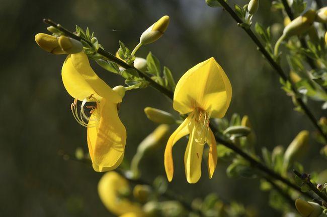 Żarnowiec, szczodrzeniec miotlasty - kwiaty