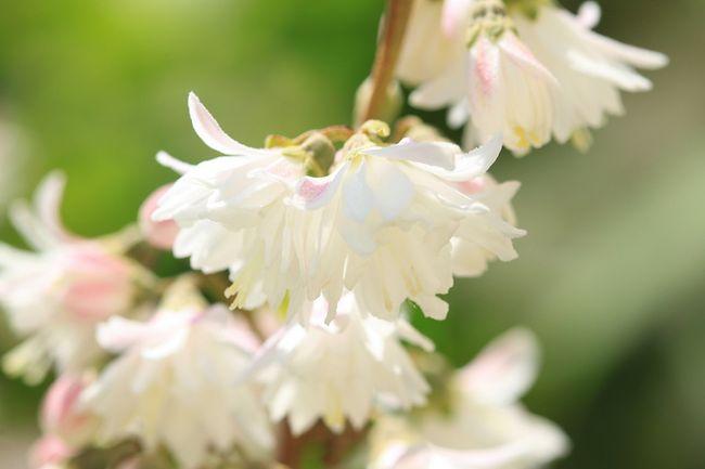 Żylistek - kwiat