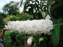 Budleja Dawida - kwiat